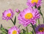 Aster alpinum 'Beauty Rose'