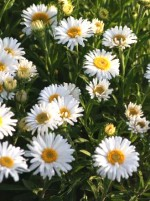 Aster alpinum 'White Beauty'