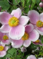 Anemone hupehensis 'Pink saucer'
