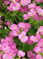 Arabis caucasica 'Little Treasure Deep Rose'