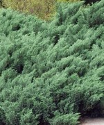 Juniperus sabina 'Jalta-1'