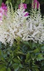 Astilbe chinensis 'Vison's In White'