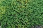 Juniperus horizontalis 'Andora Compacta'