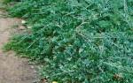 Juniperus horizontalis 'Blue Moon'