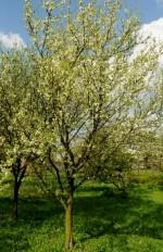 Prunus domestica 'Adele'