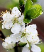 Prunus domestica 'Emma Leperman'
