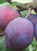 Prunus domestica 'Jubileum'
