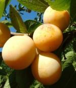 Prunus domestica 'Renklod ranij Doneckij'