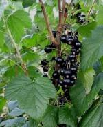 Ribes nigrum 'Zagadka'
