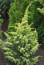 Juniperus communis 'Schneverdinger Goldmachangel'