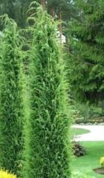 Juniperus communis 'Stricta'