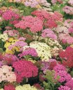 Achillea millefolium 'Summer Pastels'