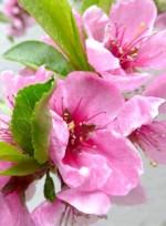 Persica vulgaris 'Maira'
