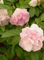 Rosa rugosa 'Agra'