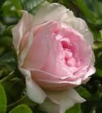 Rosa rugosa 'Rītausma'