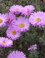 Aster dumosus 'Pink Lace'