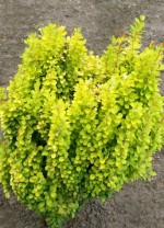Berberis thunbergii 'Golden Rocket'