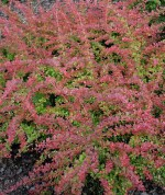 Berberis thunbergii 'Red Carpet'