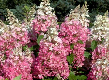 Hortenzija pinky winky